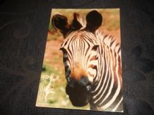 GLOSS PHOTO POSTCARD PAIGNTON ZOO HARTMANN'S MOUNTAIN ZEBRA PZ17 C34170X